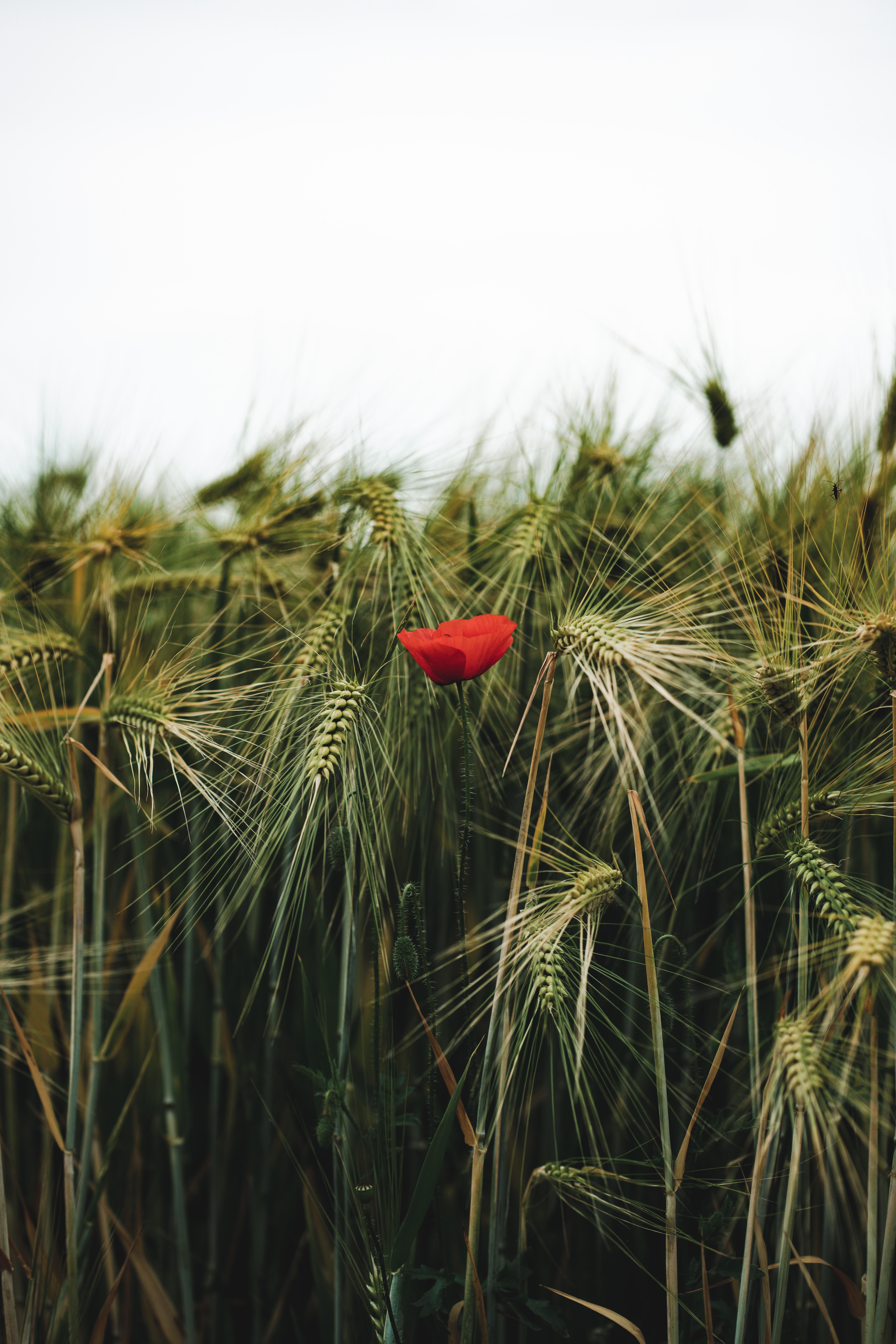 126016 скачать обои Цветы, Мак, Колосья, Трава, Пшеница - заставки и картинки бесплатно