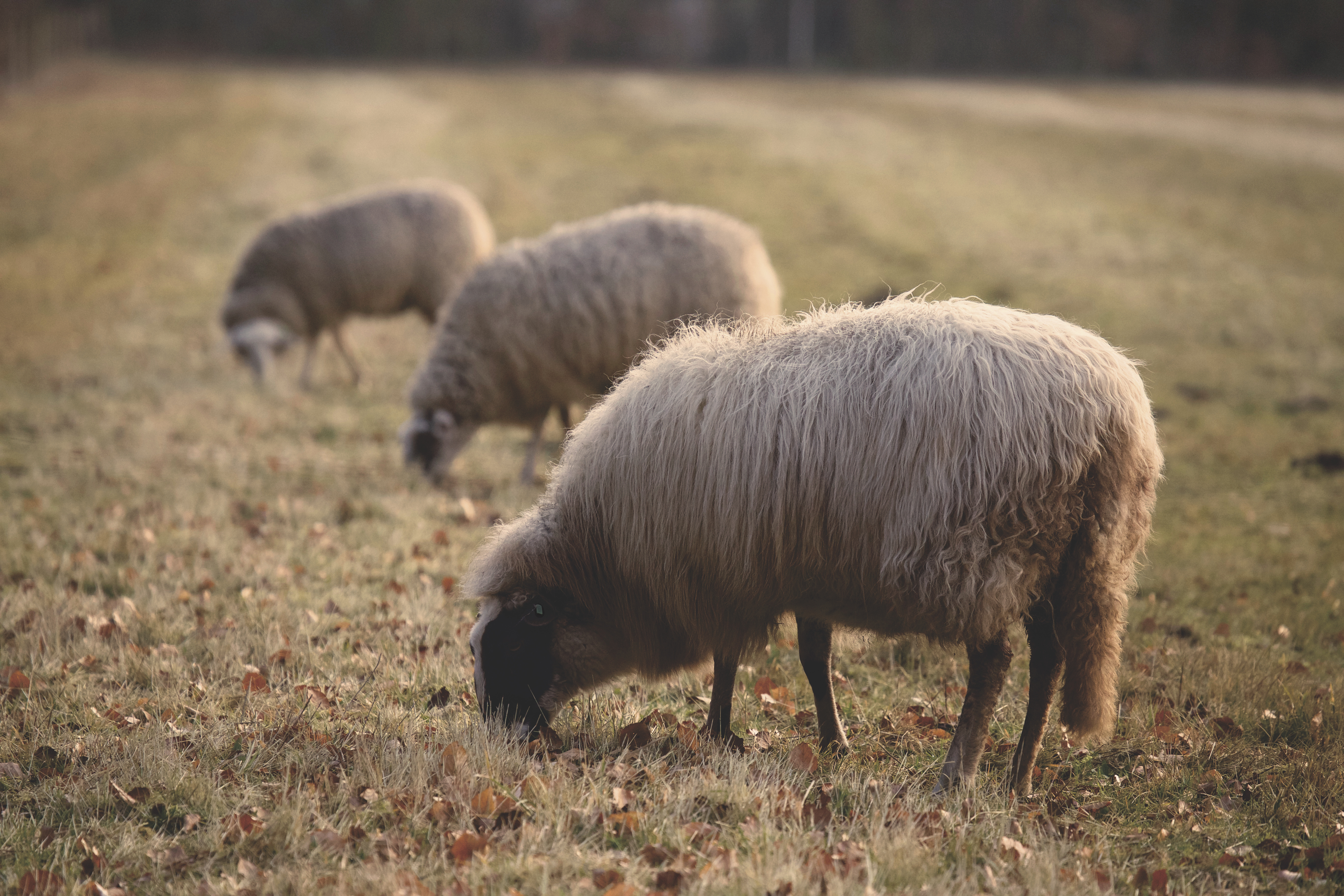 121514 Screensavers and Wallpapers Sheep for phone. Download Animals, Sheep, Farm, Pasture, Sheeps pictures for free