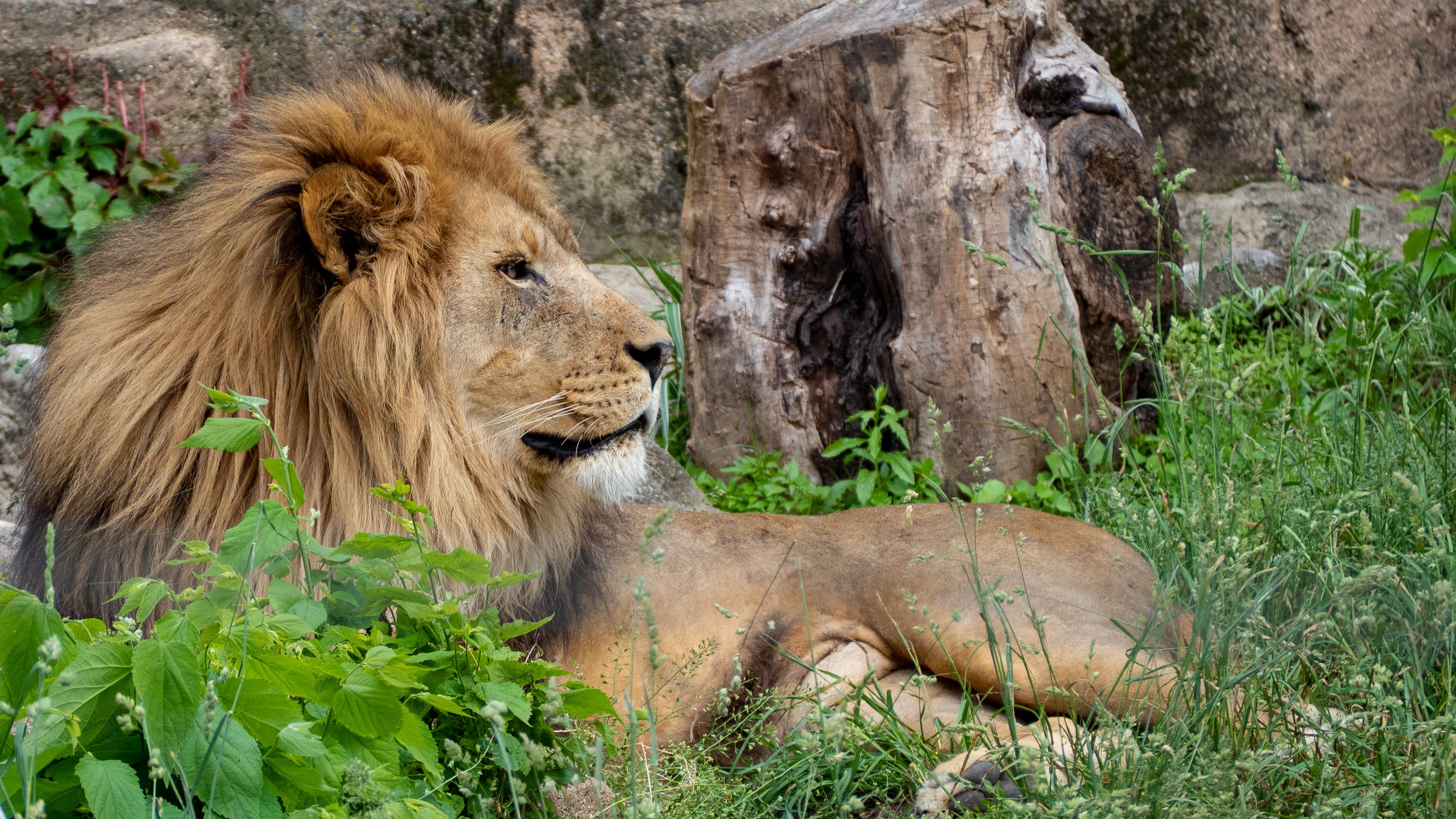 99963 Protetores de tela e papéis de parede Rei Das Feras em seu telefone. Baixe Animais, Leão, Um Leão, Gato Grande, Animal, Rei Das Feras, Rei Das Bestas fotos gratuitamente