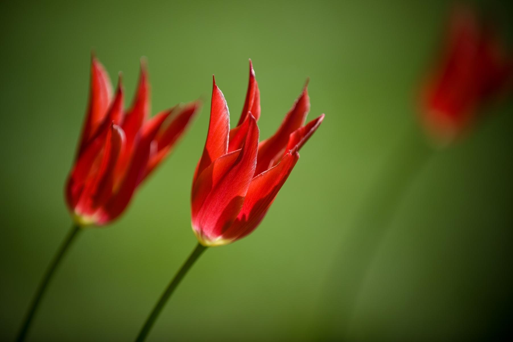 103543 скачать обои Цветы, Королевские, Два, Крупный План, Тюльпаны - заставки и картинки бесплатно