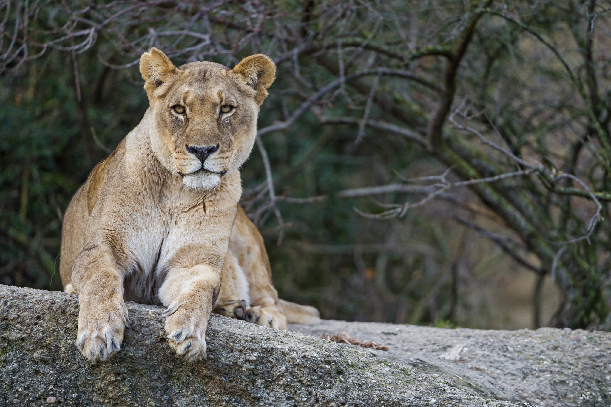116007 download wallpaper Animals, Lion, Lioness, Muzzle, To Lie Down, Lie screensavers and pictures for free