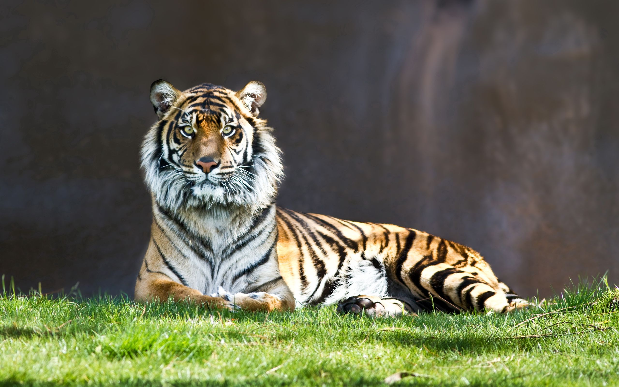 154515 download wallpaper Animals, Tiger, Predator, Big Cat, To Lie Down, Lie, Grass screensavers and pictures for free