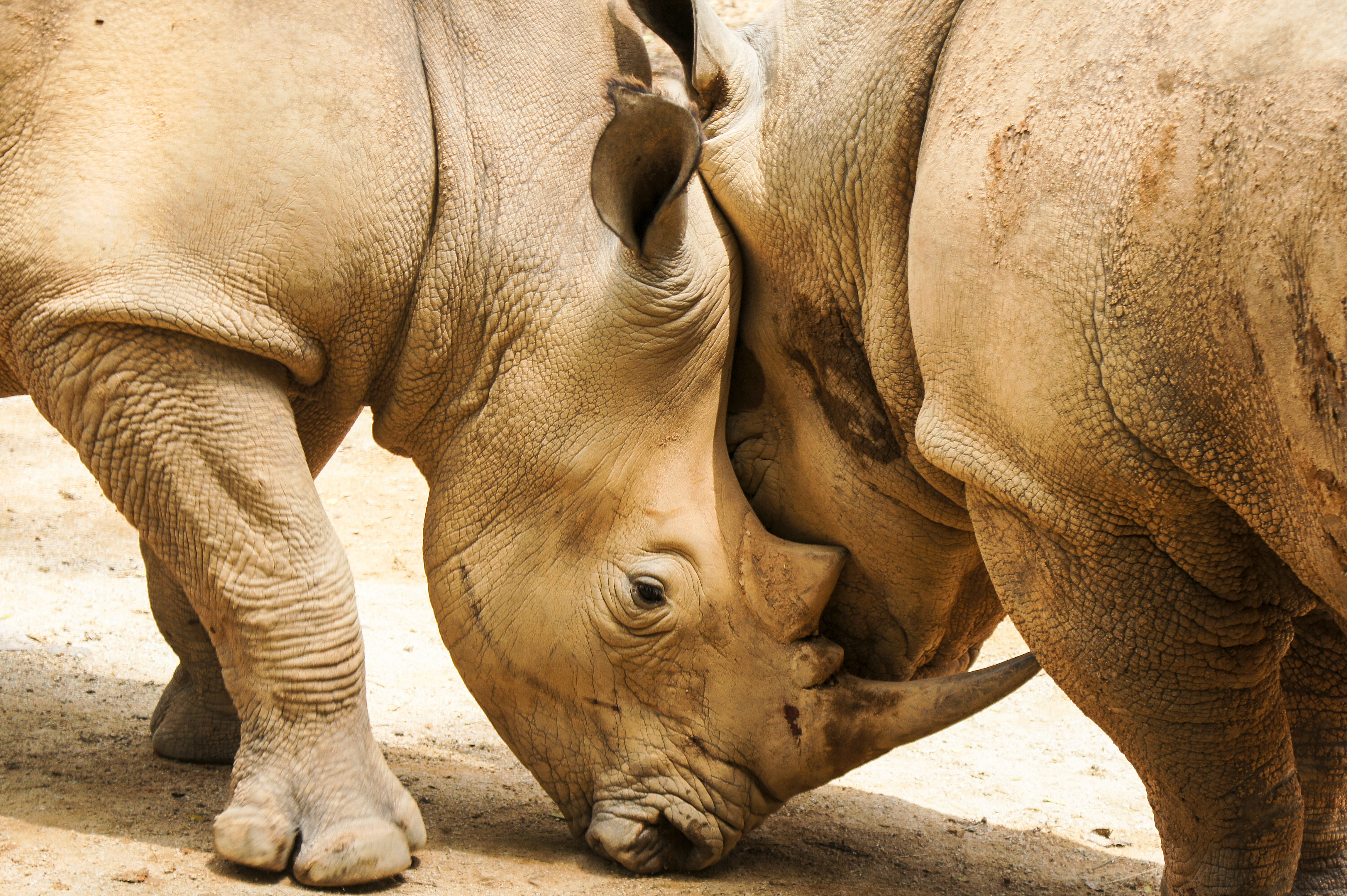 55750 download wallpaper Animals, Rhinos, Couple, Pair, Horns screensavers and pictures for free