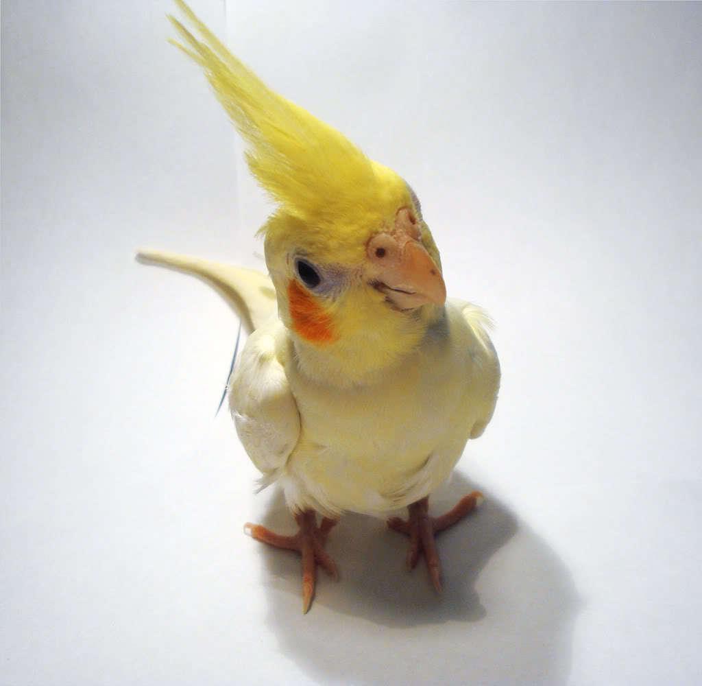 12902 Hintergrundbild herunterladen Vögel, Papageien, Tiere - Bildschirmschoner und Bilder kostenlos