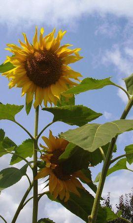 126751 télécharger le fond d'écran Fleurs, Tiges, Hauteur, Sky, Légumes Verts, Verdure, Été, Tournesols - économiseurs d'écran et images gratuitement