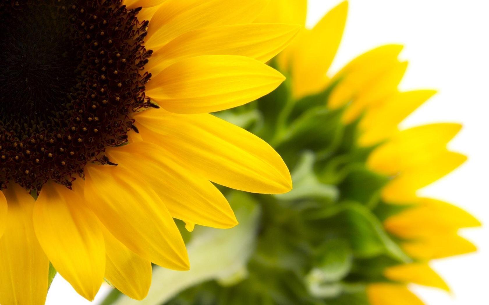 41788 скачать обои Растения, Подсолнухи - заставки и картинки бесплатно