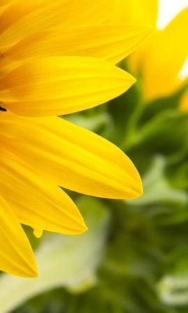 41788 descargar fondo de pantalla Plantas, Girasoles: protectores de pantalla e imágenes gratis