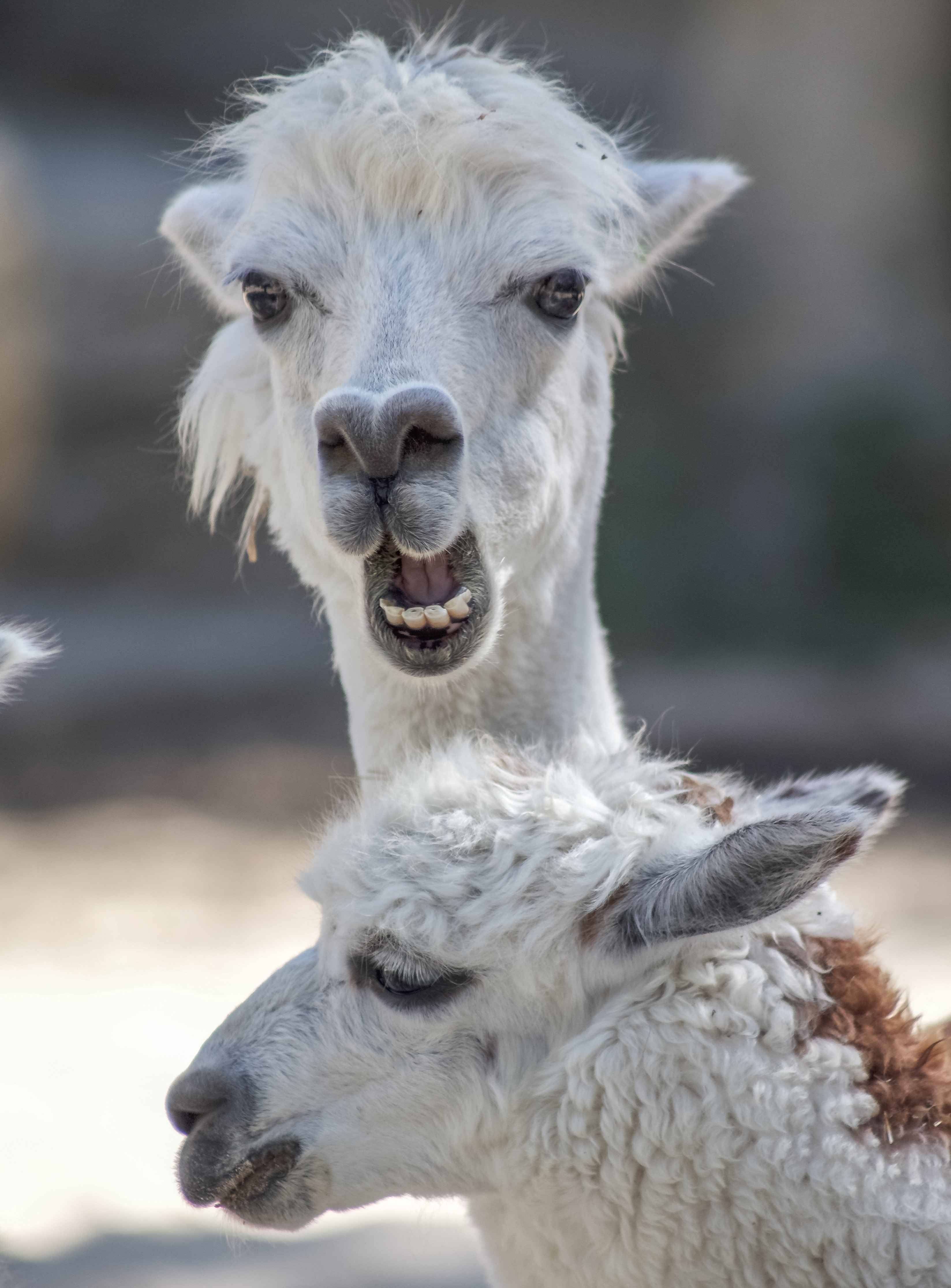 135175 download wallpaper Animals, Alpaca, Funny, Cool, Animal, Wildlife screensavers and pictures for free