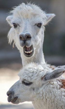135175 Screensavers and Wallpapers Funny for phone. Download Animals, Alpaca, Funny, Cool, Animal, Wildlife pictures for free