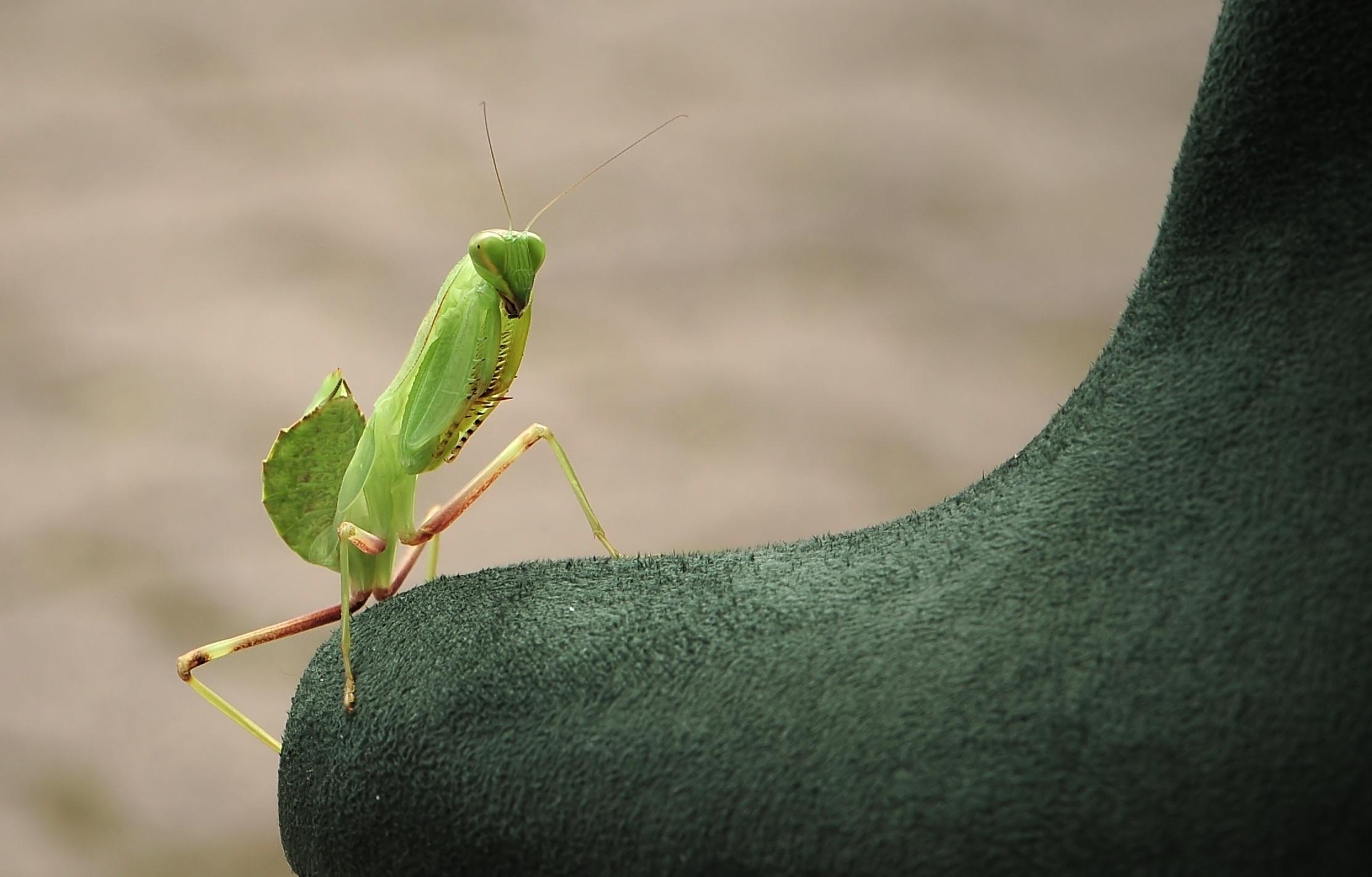 手機的124978屏保和壁紙昆虫。 免費下載 宏, 螳螂, 博戈莫尔, 昆虫 圖片