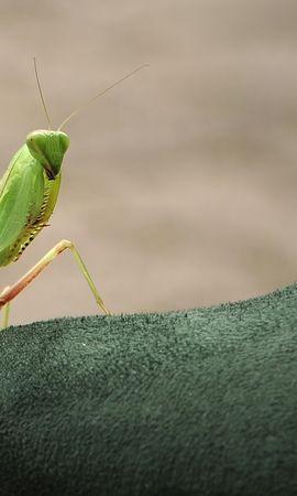 お使いの携帯電話の124978スクリーンセーバーと壁紙昆虫。 大きい, マクロ, カマキリ, 螂, 昆虫の写真を無料でダウンロード