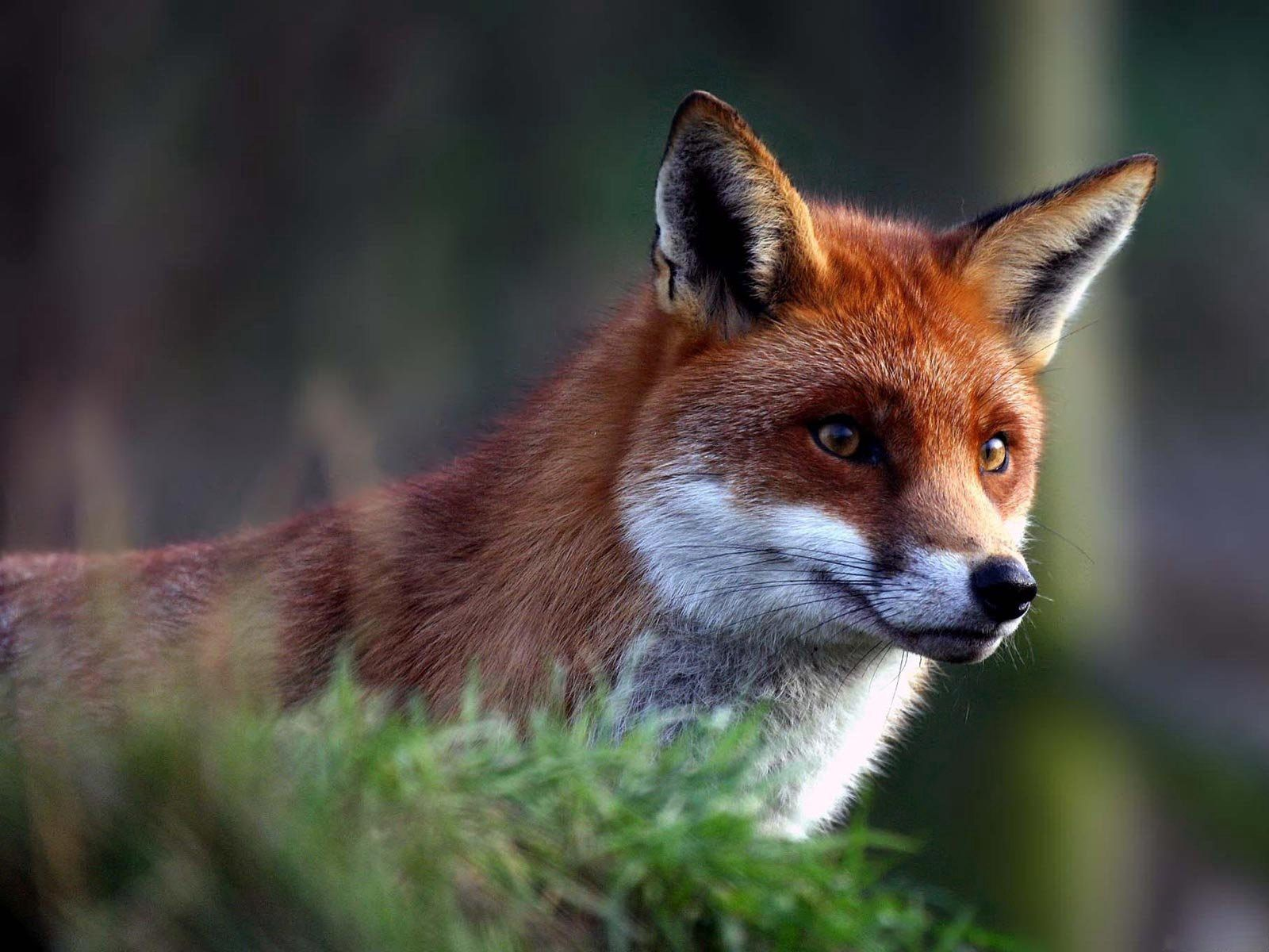130627 Screensavers and Wallpapers Beautiful for phone. Download Animals, Fox, Muzzle, Beautiful, Wool pictures for free