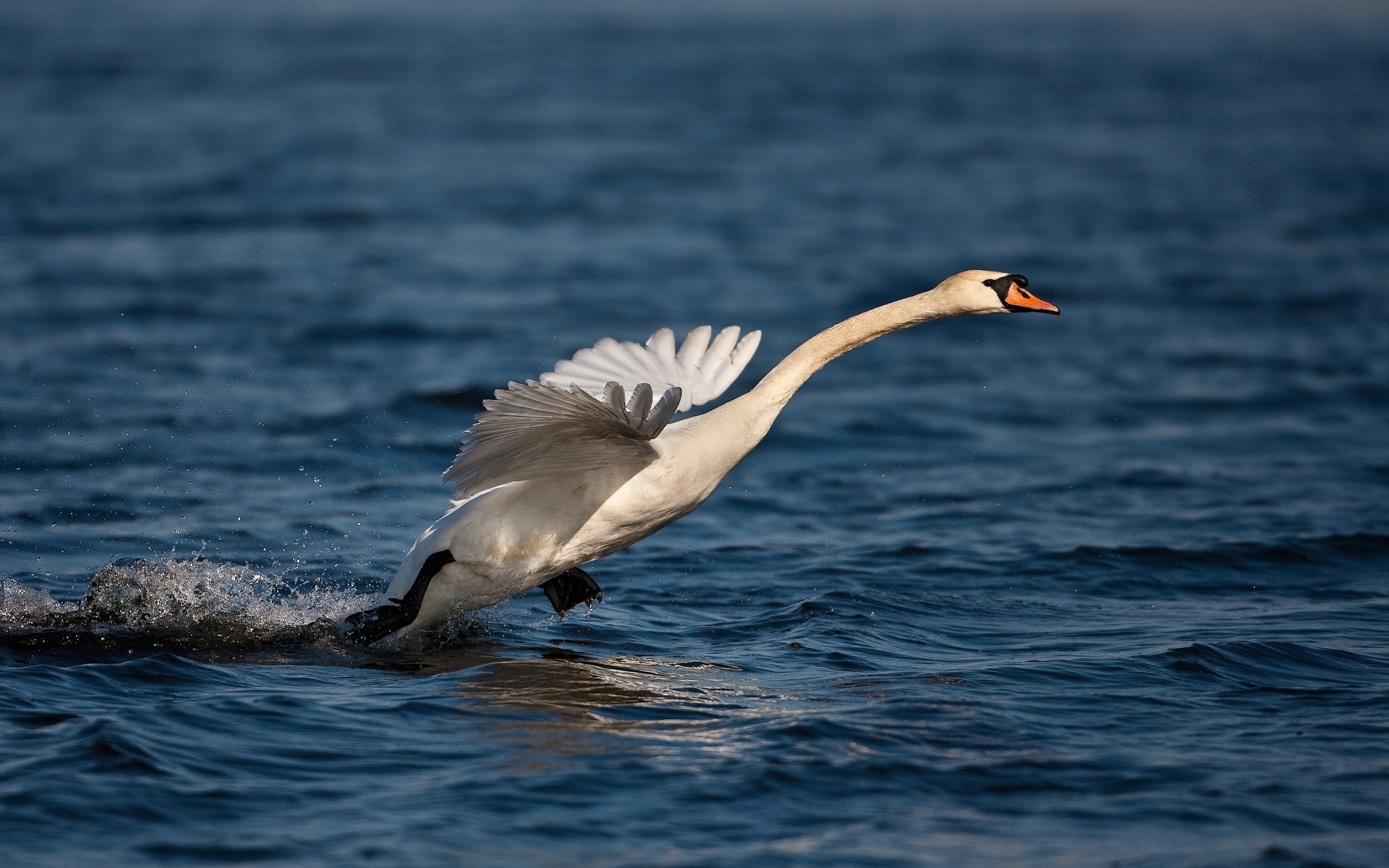 29722 download wallpaper Animals, Birds, Swans screensavers and pictures for free
