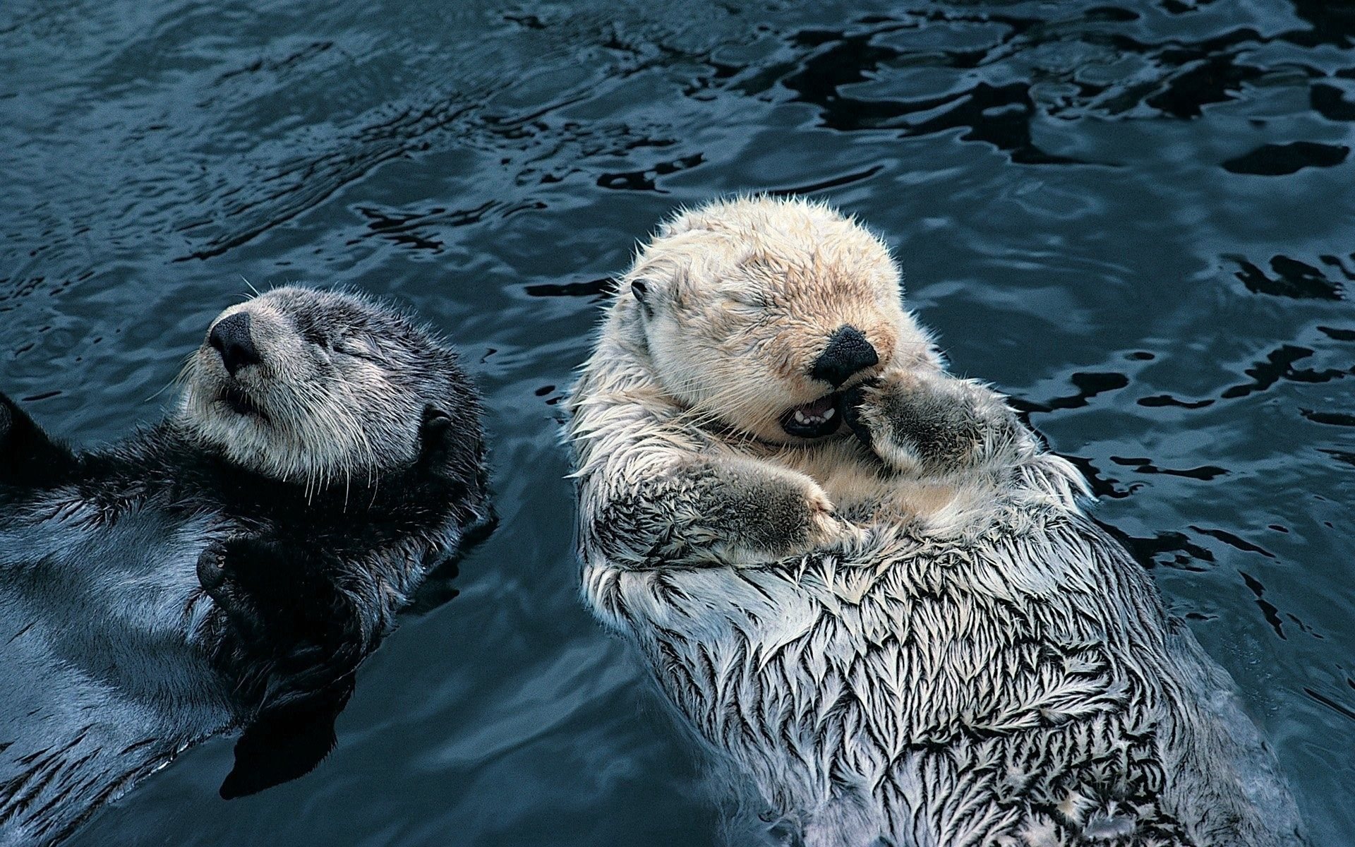 148416 download wallpaper Animals, Couple, Pair, Grass, Dirty, Water, To Swim, Swim, Otters screensavers and pictures for free