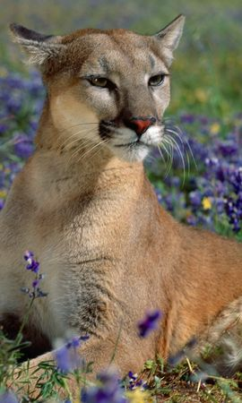 8680 download wallpaper Animals, Puma screensavers and pictures for free