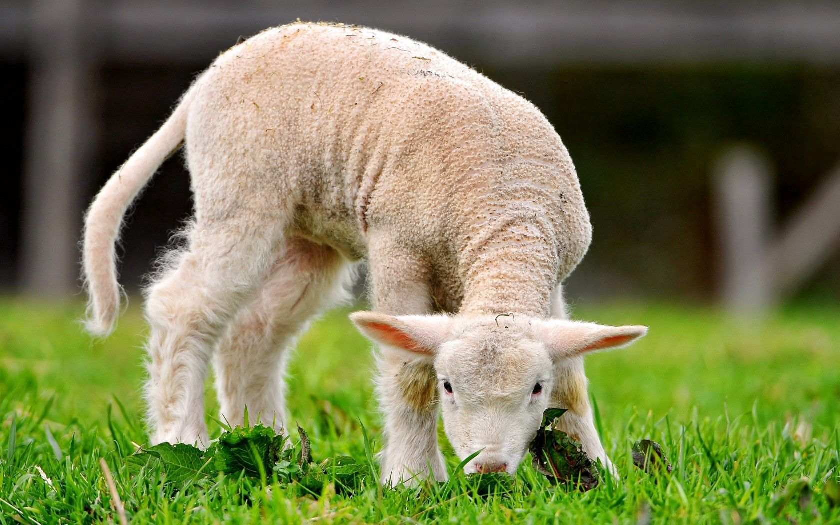 125584 Screensavers and Wallpapers Sheep for phone. Download Animals, Grass, Sheep pictures for free
