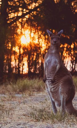 91472 Screensavers and Wallpapers Funny for phone. Download Animals, Kangaroo, Funny, Wildlife, Sunset pictures for free
