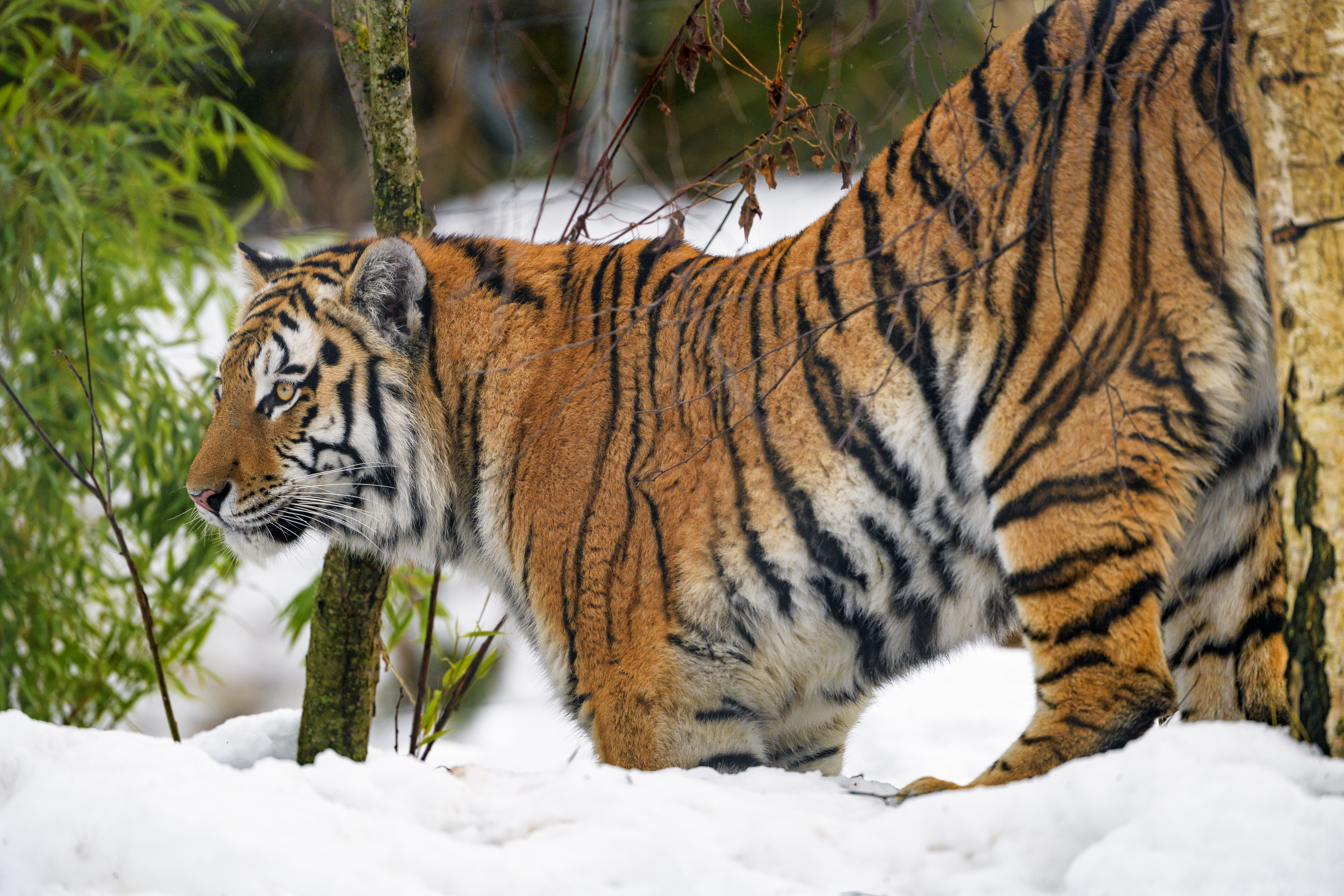 74554 download wallpaper Animals, Tiger, Animal, Predator, Big Cat, Snow, Wildlife screensavers and pictures for free