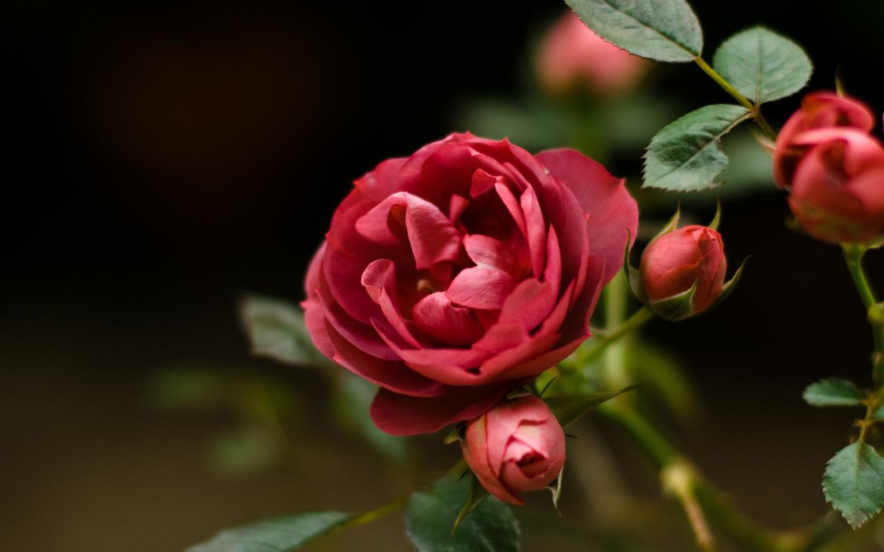12146 скачать обои Растения, Цветы, Розы - заставки и картинки бесплатно