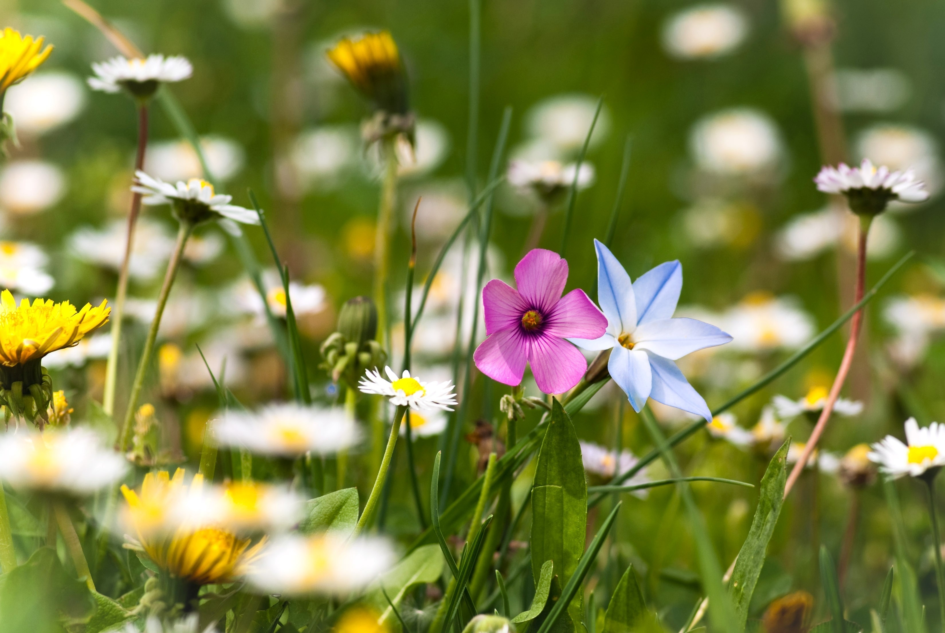 157116 download wallpaper Flowers, Polyana, Glade, Summer, Grass, Nature, Mood screensavers and pictures for free