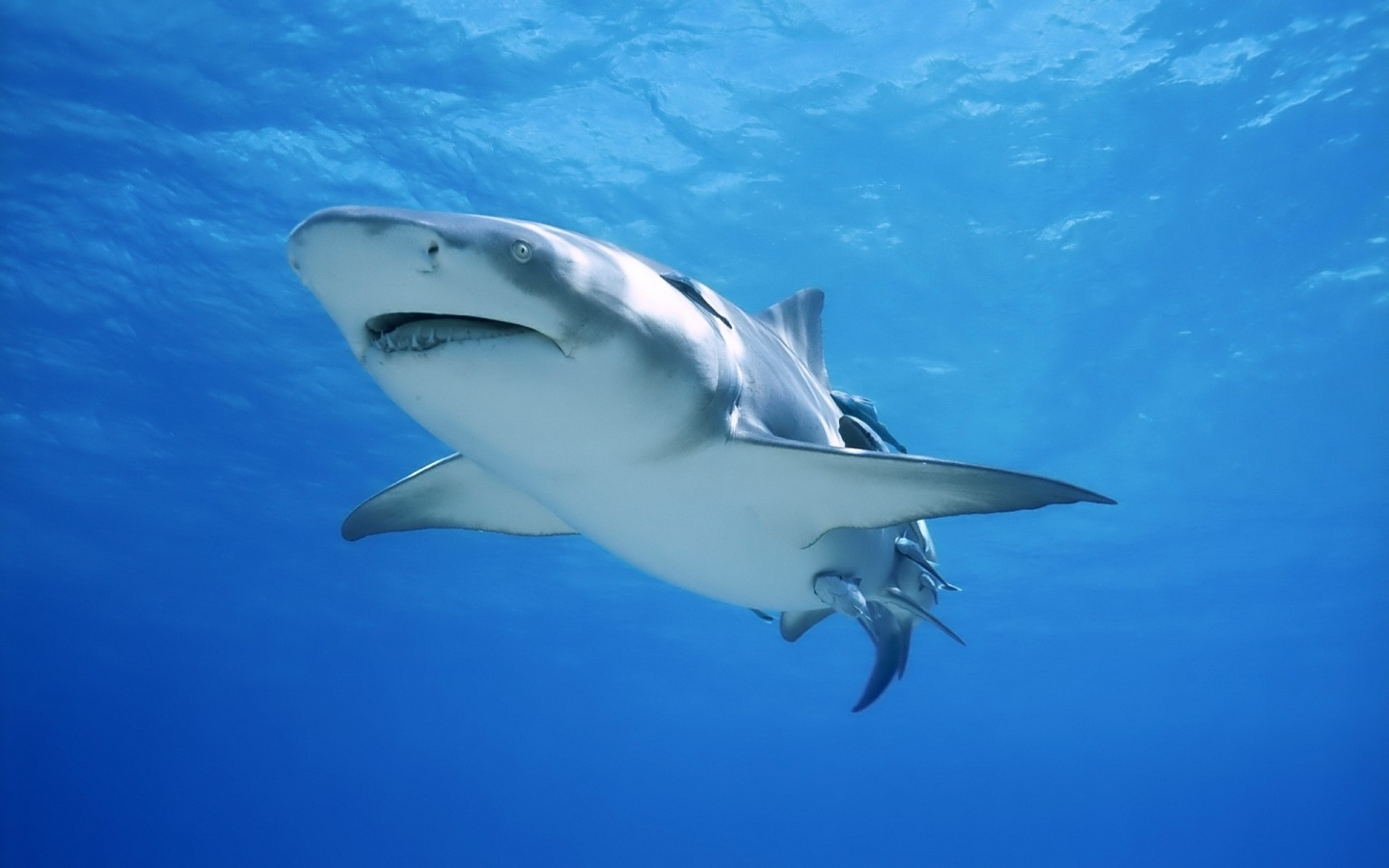 43548 download wallpaper Animals, Sharks screensavers and pictures for free