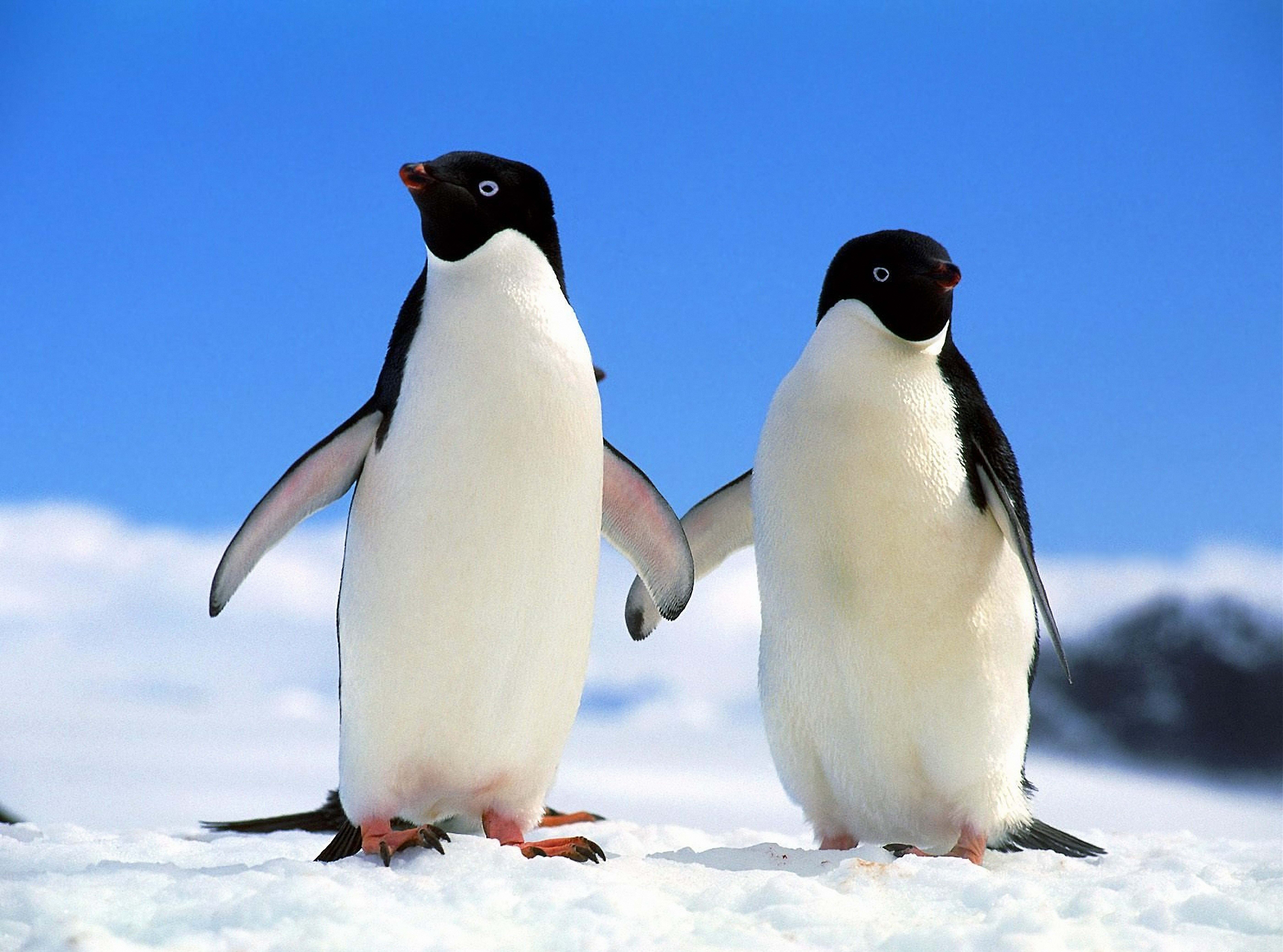 110814 download wallpaper Animals, Winter, Pinguins, Couple, Pair, North screensavers and pictures for free