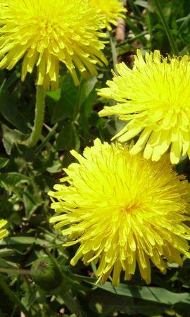 11175 descargar fondo de pantalla Plantas, Flores, Dientes De León: protectores de pantalla e imágenes gratis