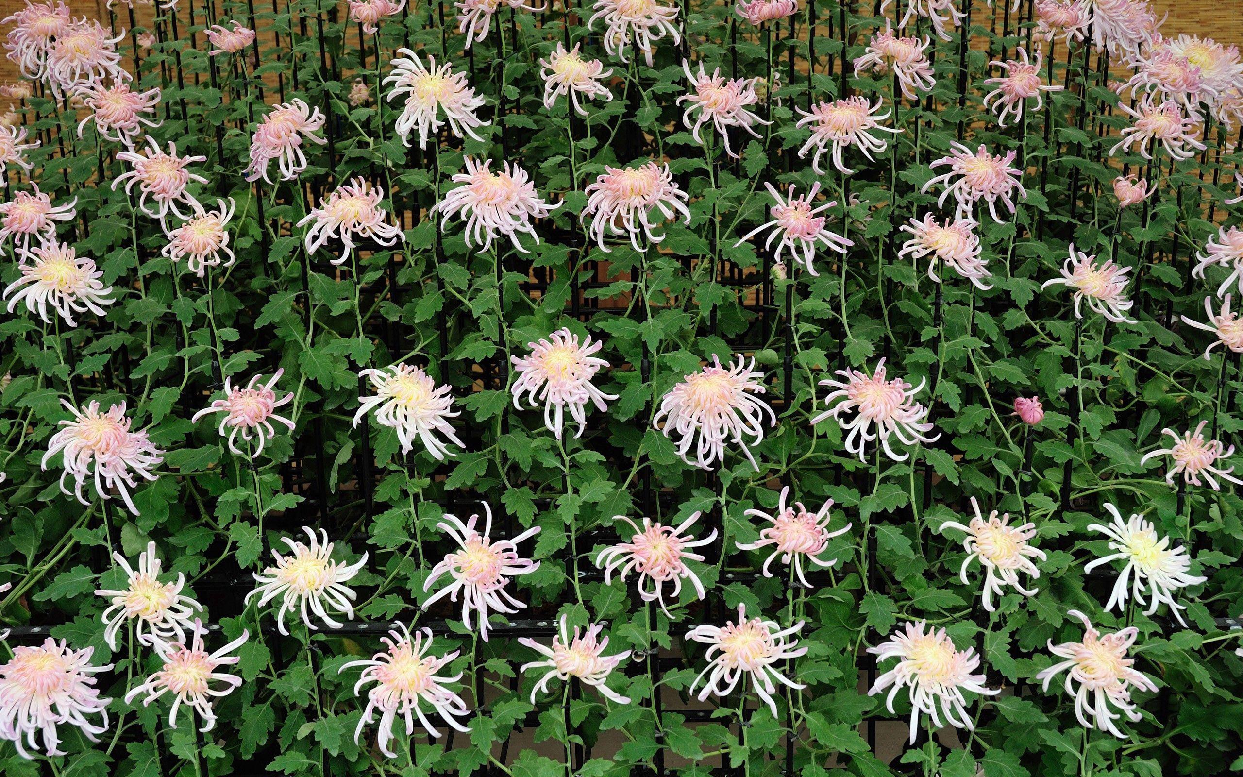155360 descargar fondo de pantalla Naturaleza, Planta, Florecer, Floración, Verano, Flores: protectores de pantalla e imágenes gratis