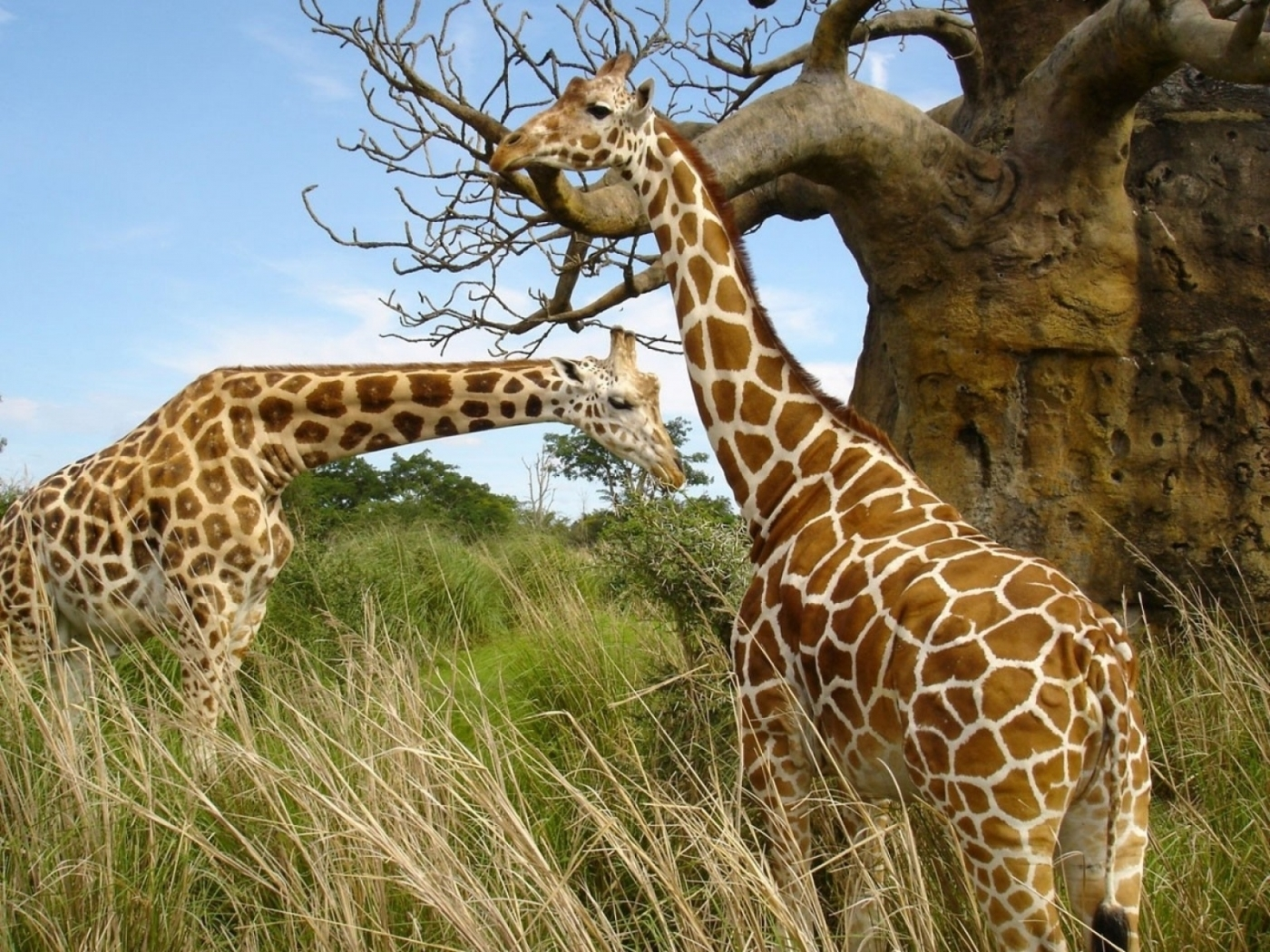 47170 download wallpaper Animals, Giraffes screensavers and pictures for free