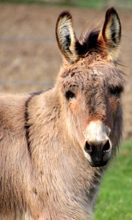 153700 download wallpaper Animals, Donkey, Animal, Muzzle screensavers and pictures for free