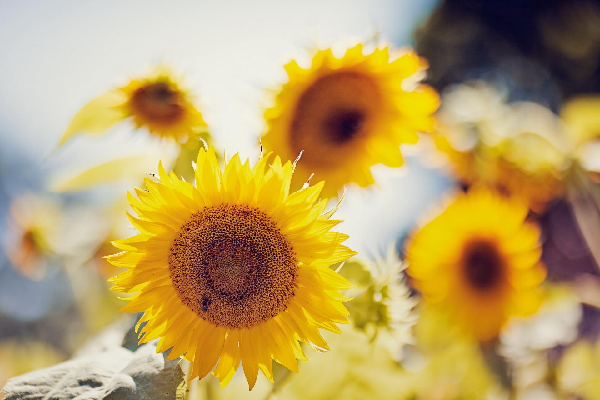 16247 免費下載壁紙 植物, 向日葵 屏保和圖片