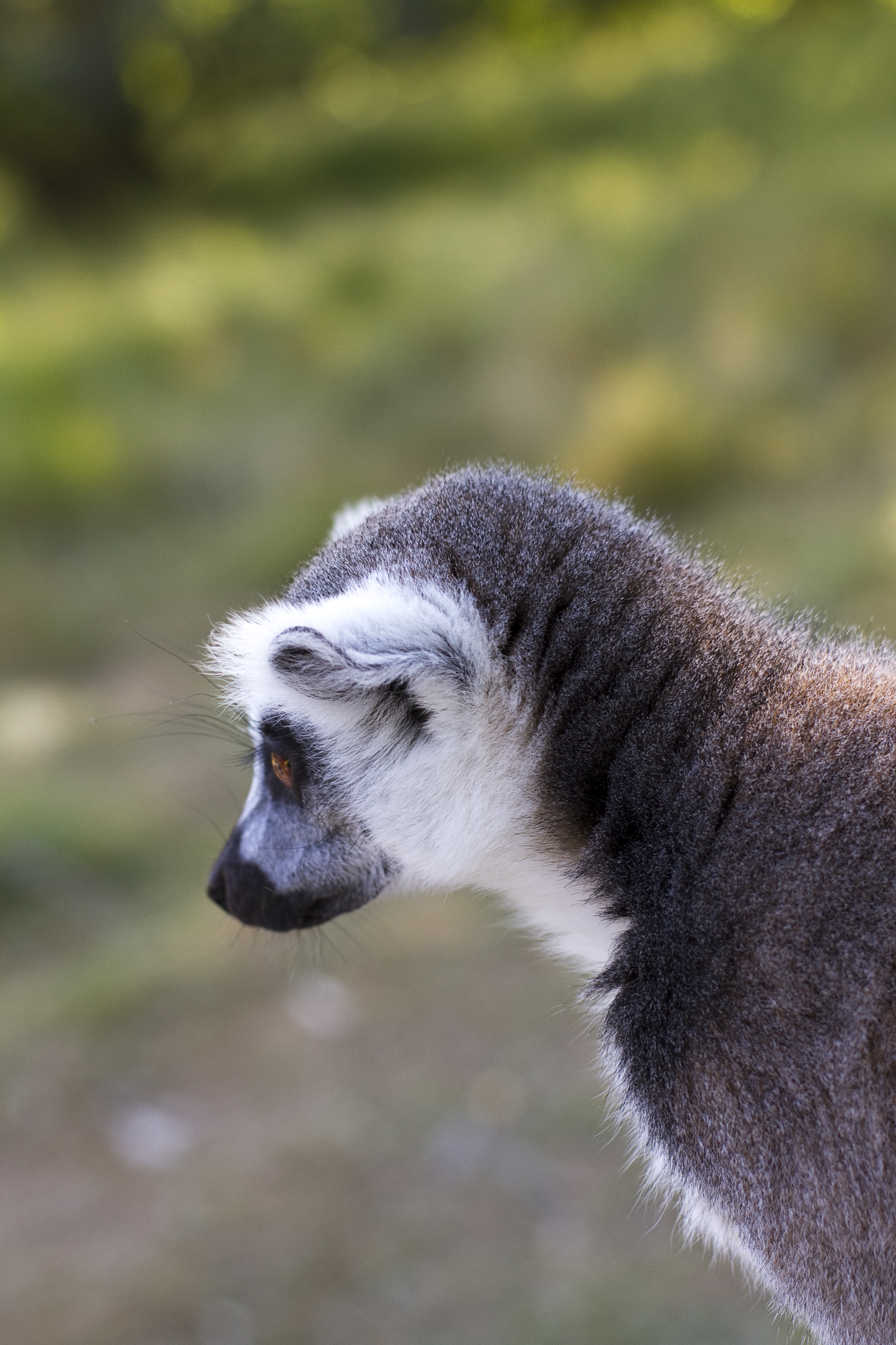 111375 download wallpaper Animals, Lemur, Grey, Animal, Wildlife screensavers and pictures for free