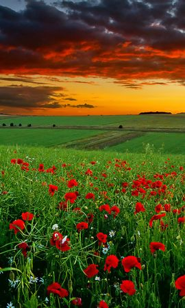 15004 download wallpaper Plants, Landscape, Flowers, Fields, Sky, Poppies screensavers and pictures for free