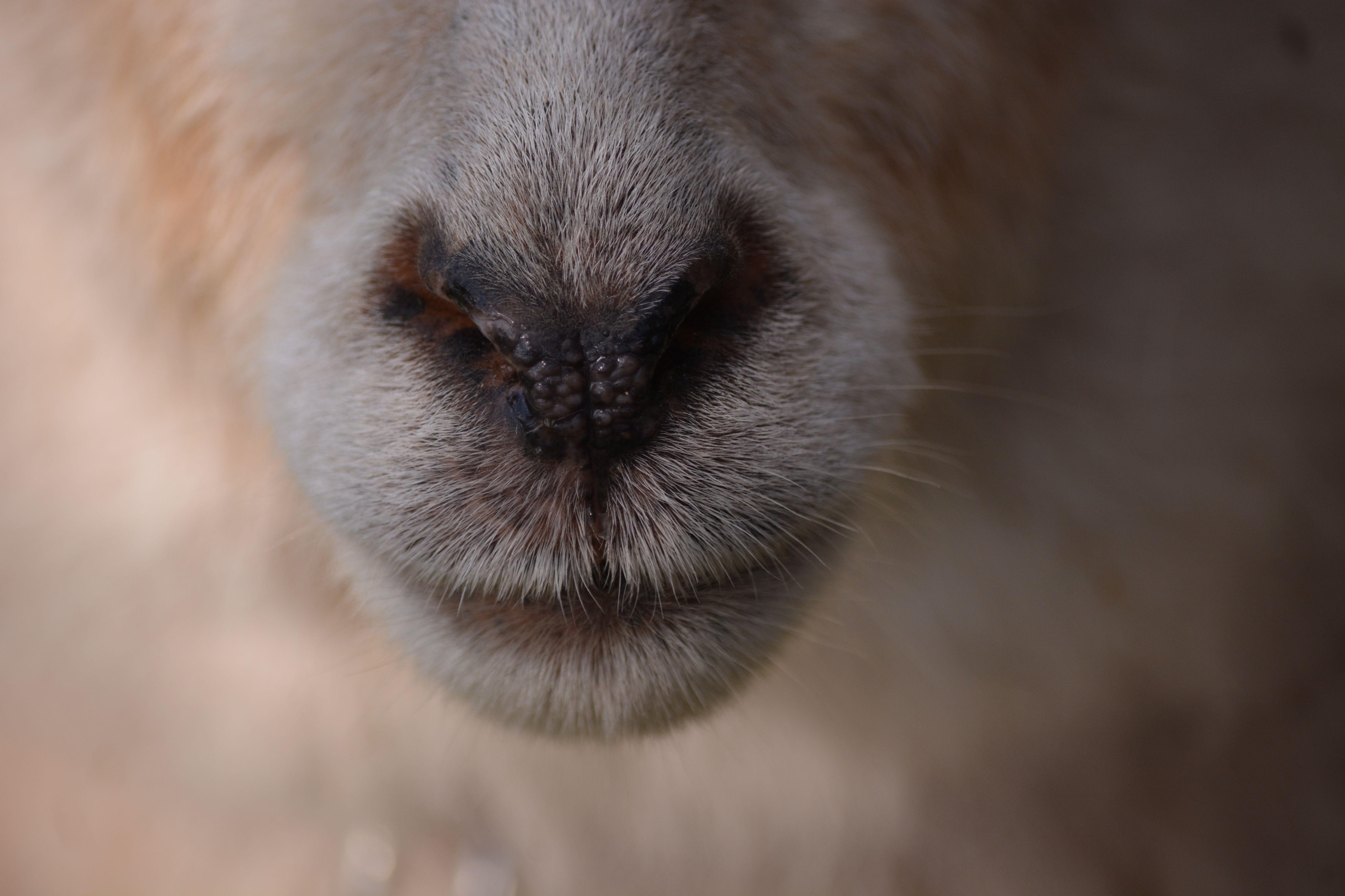 56070 Screensavers and Wallpapers Sheep for phone. Download Animals, Nose, Sheep, Wool pictures for free
