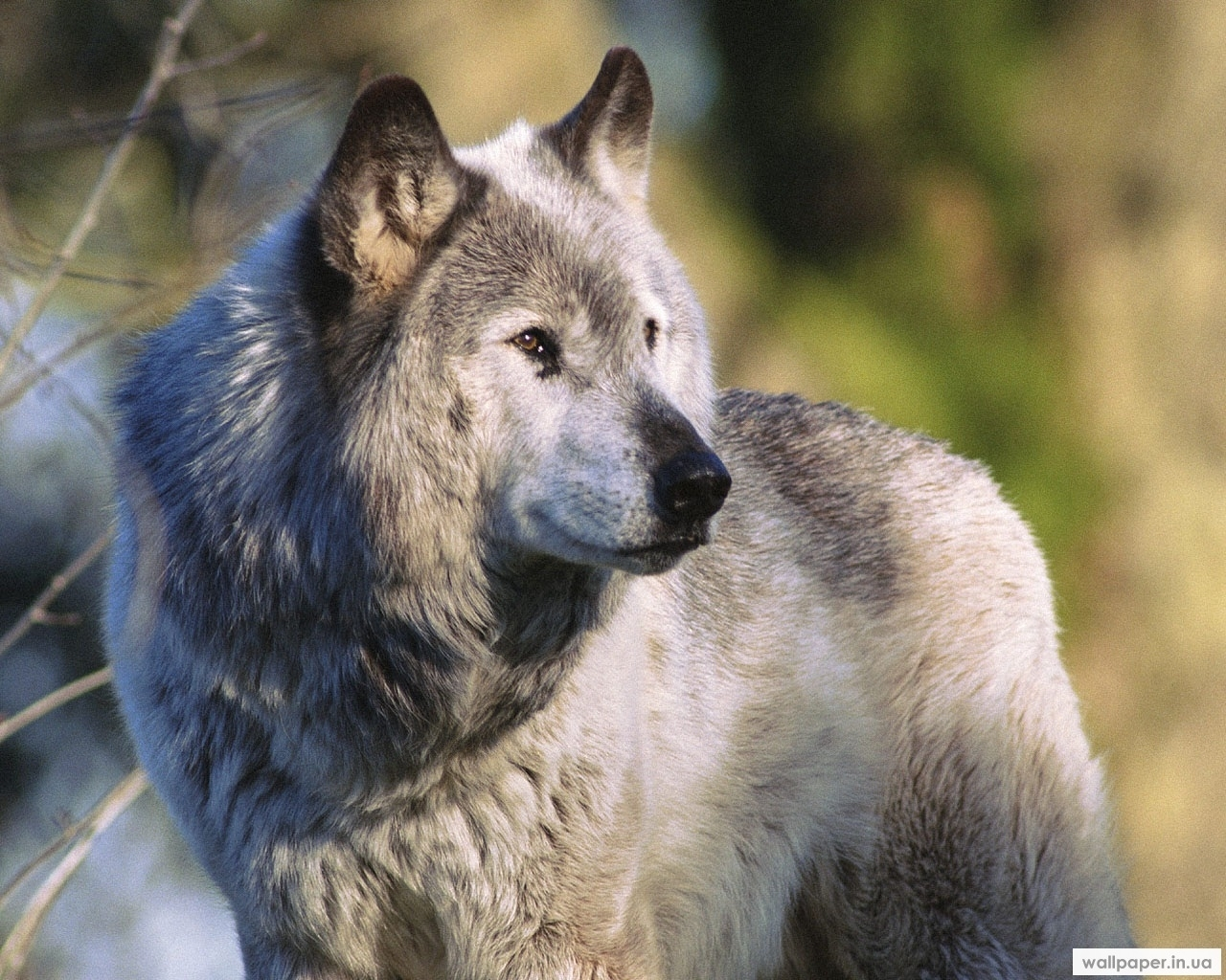 303 download wallpaper Animals, Wolfs screensavers and pictures for free
