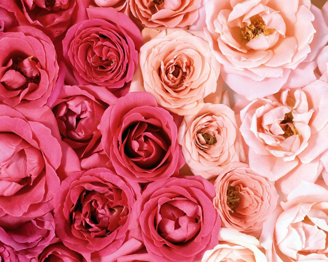 8608 скачать обои Растения, Цветы, Фон, Розы - заставки и картинки бесплатно