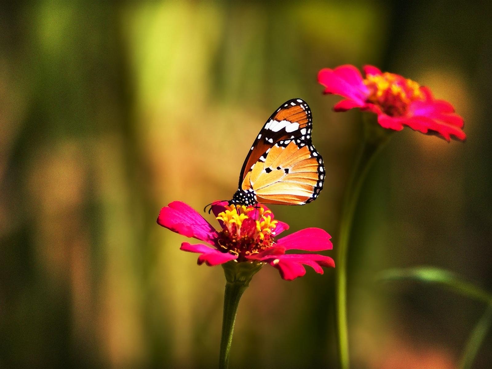 3460 скачать обои Бабочки, Цветы, Насекомые - заставки и картинки бесплатно