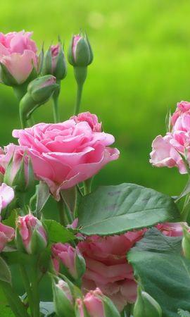13939 скачать обои Растения, Цветы, Розы - заставки и картинки бесплатно