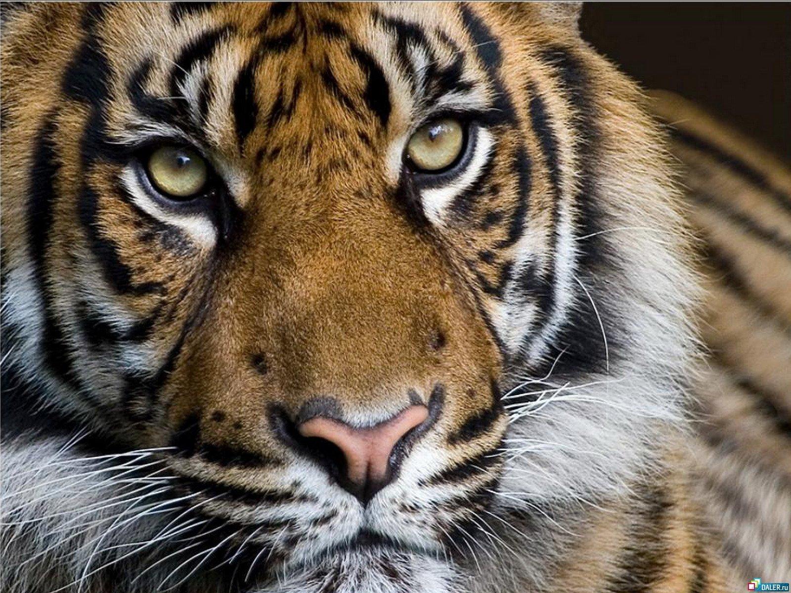 19711 descargar fondo de pantalla Animales, Tigres: protectores de pantalla e imágenes gratis