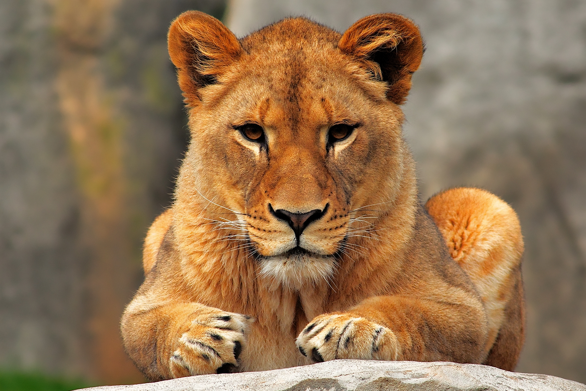 59862 Screensavers and Wallpapers Sit for phone. Download Animals, Sit, Lion, Predator, Lioness pictures for free