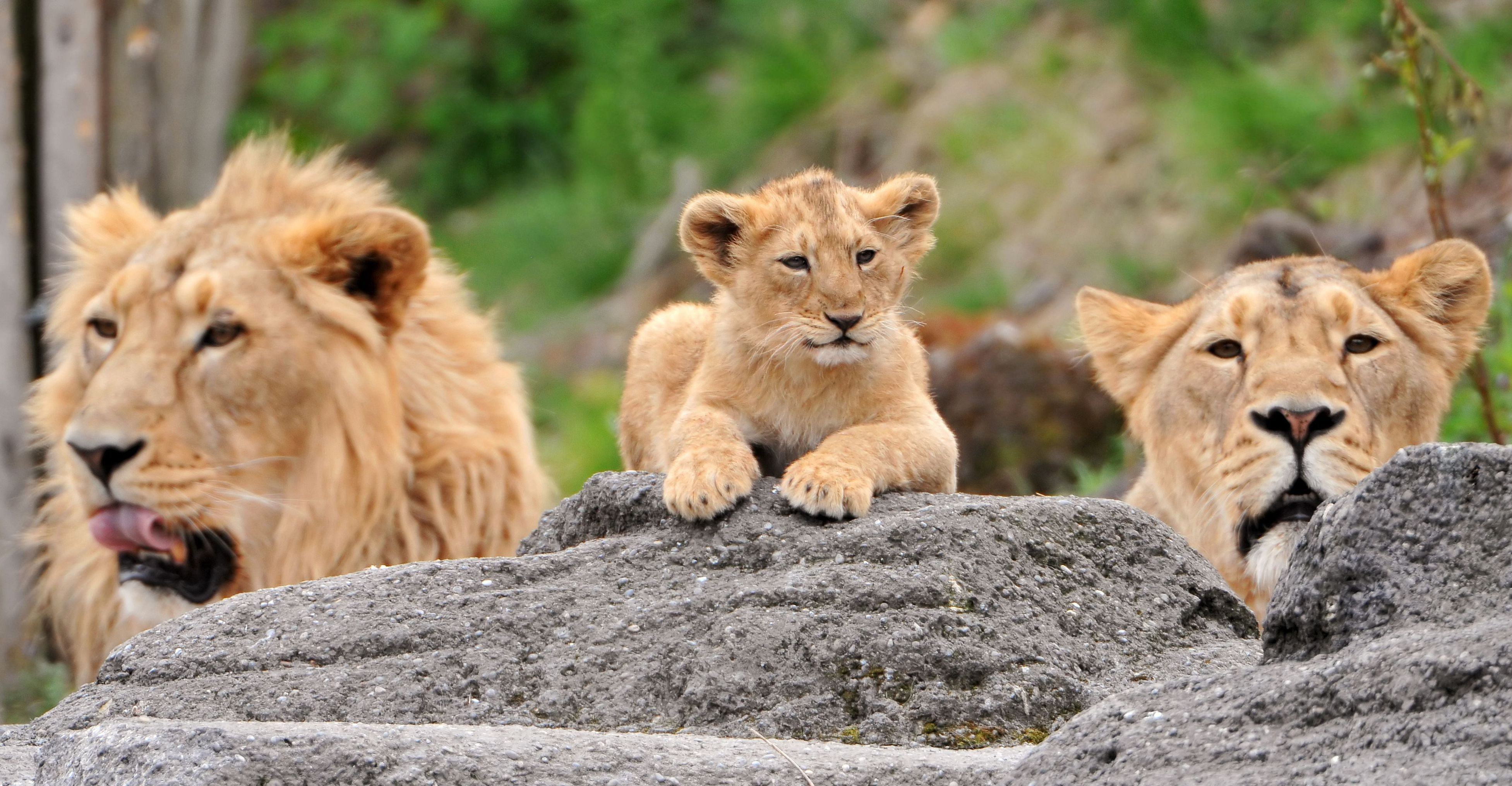 131764 download wallpaper Animals, Family, Young, Joey, Muzzle, Predators, Lions screensavers and pictures for free