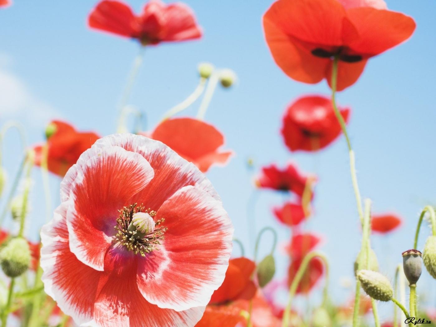 27241 скачать обои Растения, Цветы, Маки - заставки и картинки бесплатно