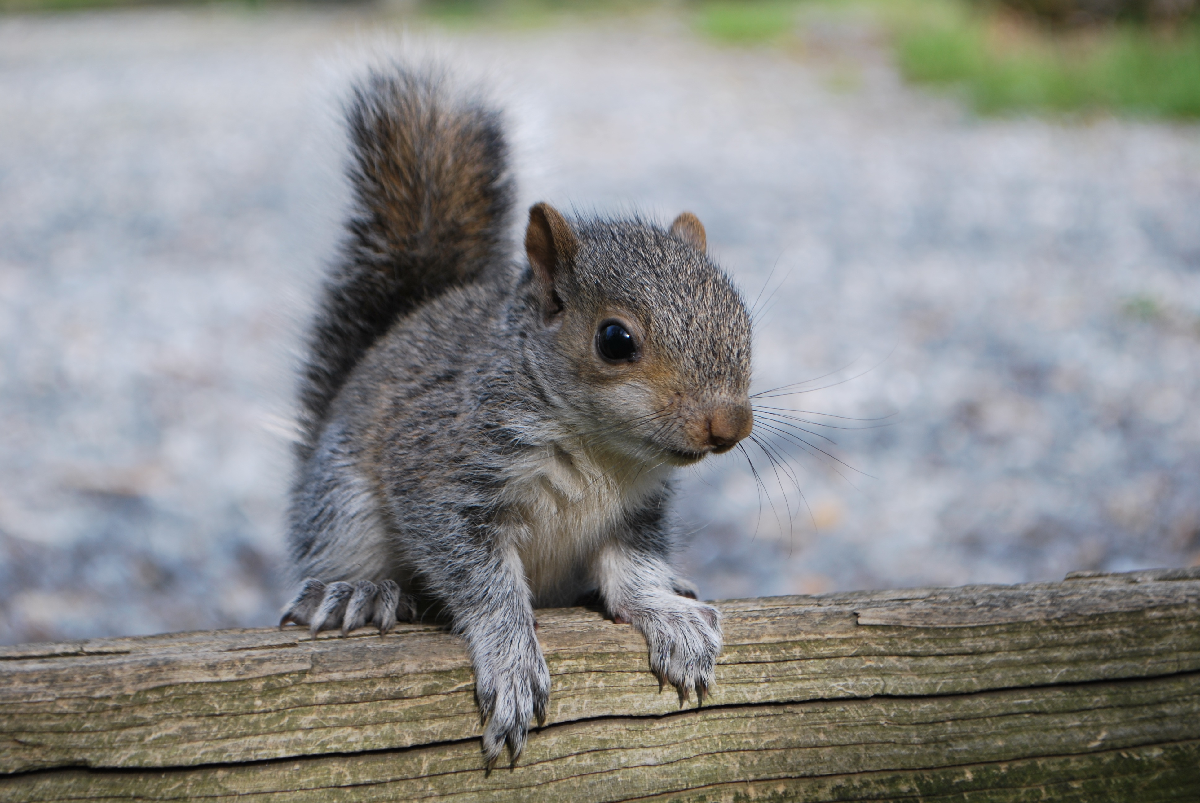 106499 download wallpaper Animals, Squirrel, Rodent, Log screensavers and pictures for free