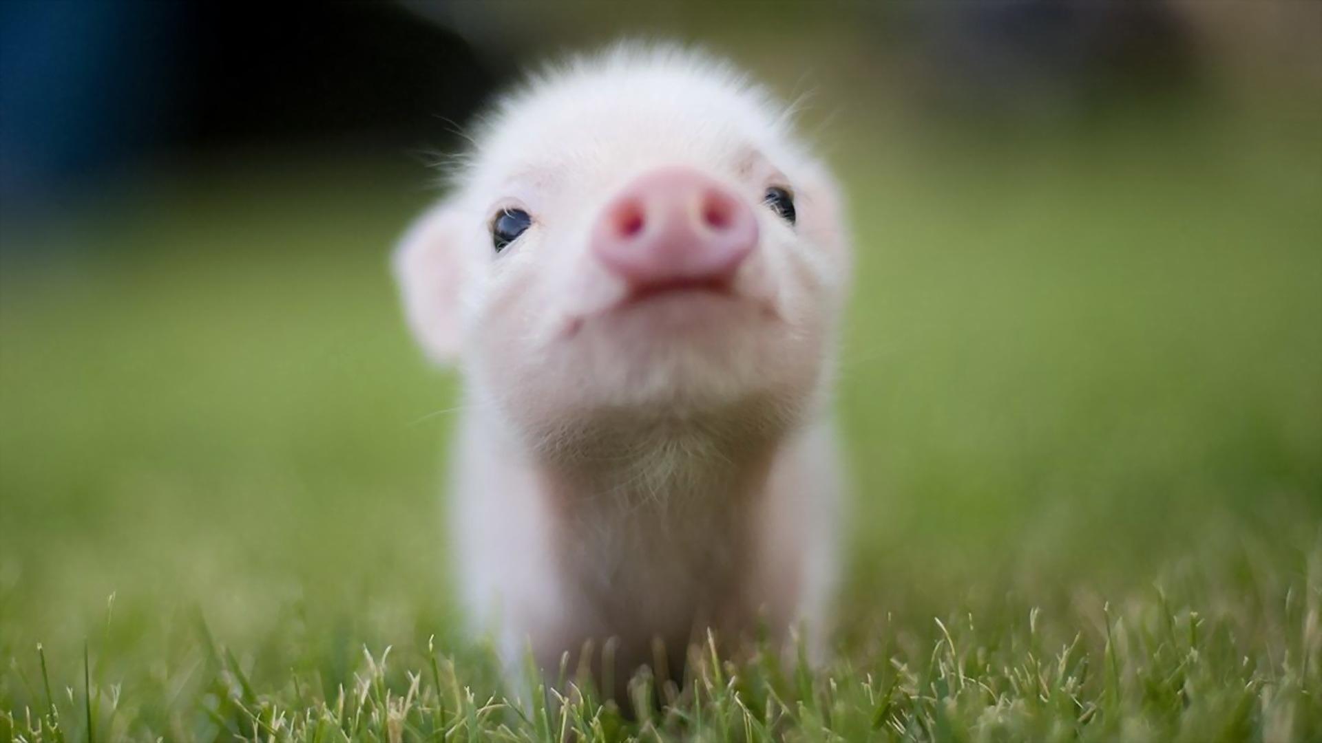 免費壁紙40520:动物, 猪 下載手機圖片