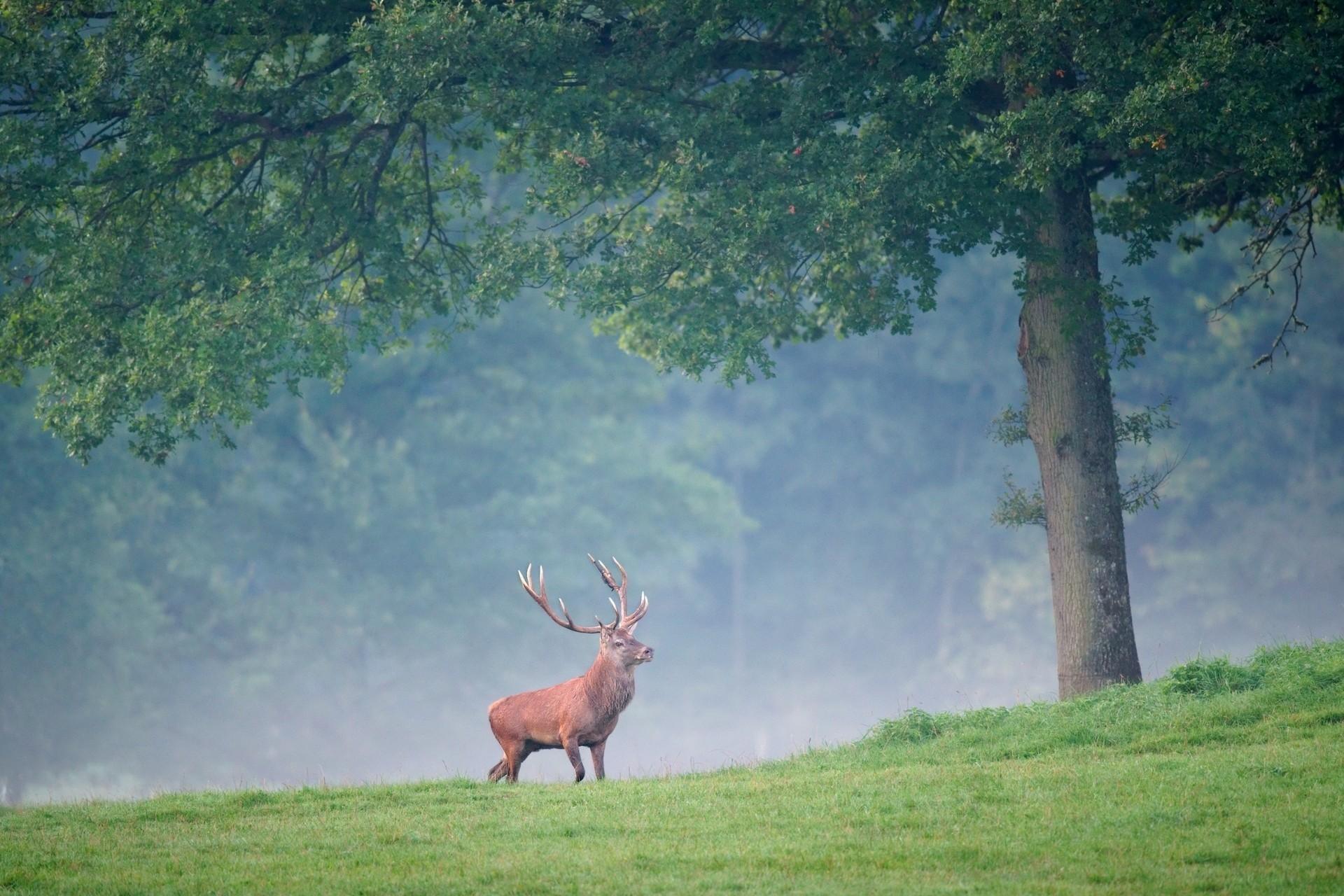 128564 скачать обои Деревья, Животные, Олень, Трава, Туман, Прогулка - заставки и картинки бесплатно