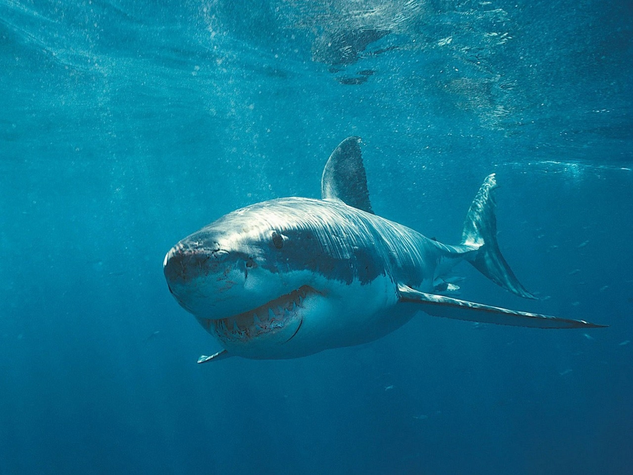 44616 download wallpaper Animals, Sharks screensavers and pictures for free