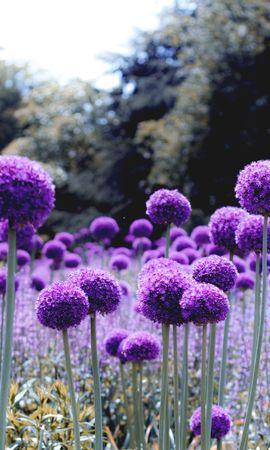 119242 baixar papel de parede Flores, Cebola, Florescer, Floração, Roxo, Violeta, Polyana, Clareira - protetores de tela e imagens gratuitamente