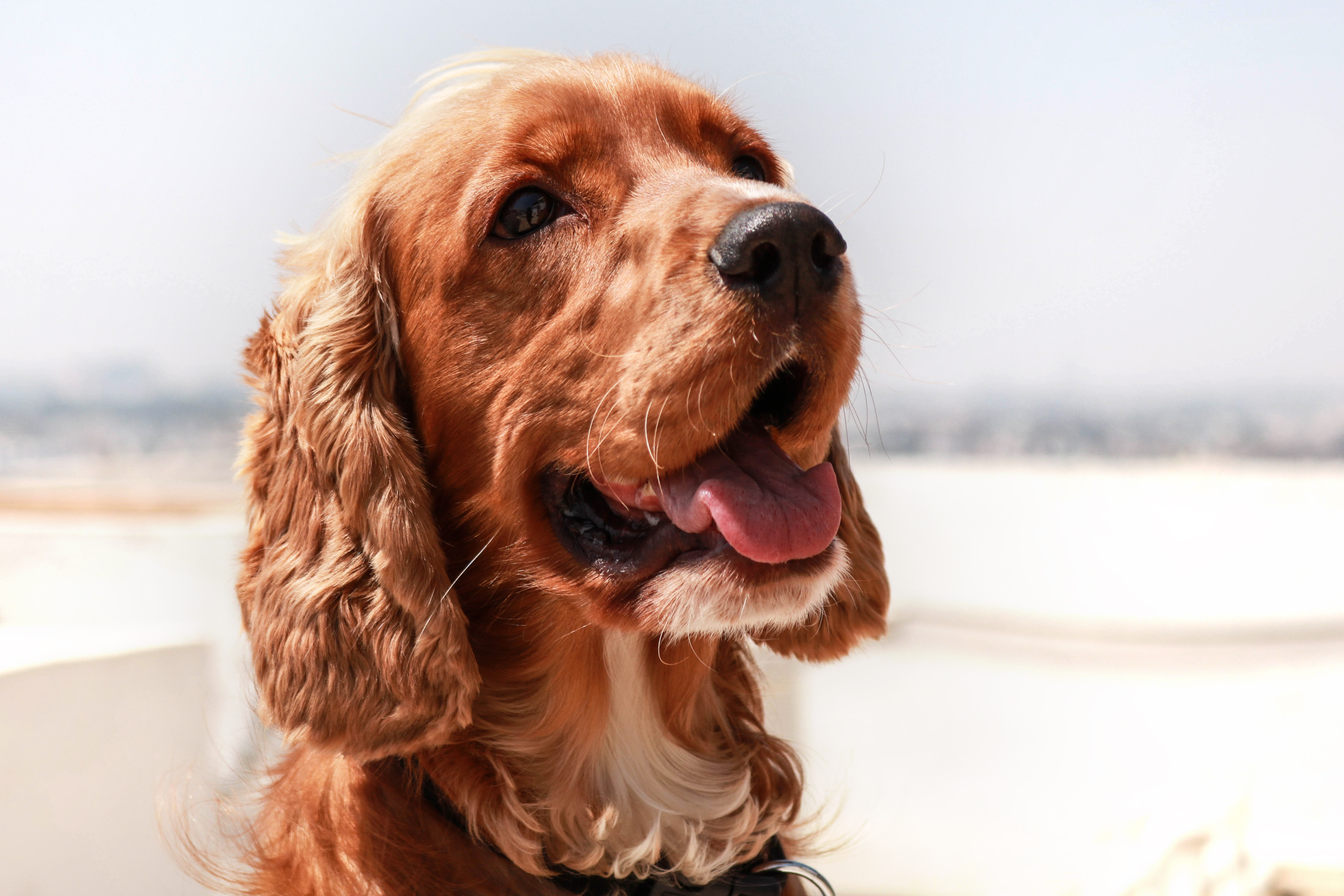 102951 download wallpaper Animals, English Cocker Spaniel, Dog, Muzzle, Protruding Tongue, Tongue Stuck Out screensavers and pictures for free