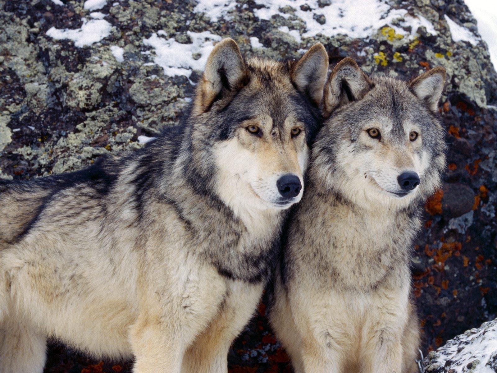 2270 скачать обои Животные, Волки - заставки и картинки бесплатно