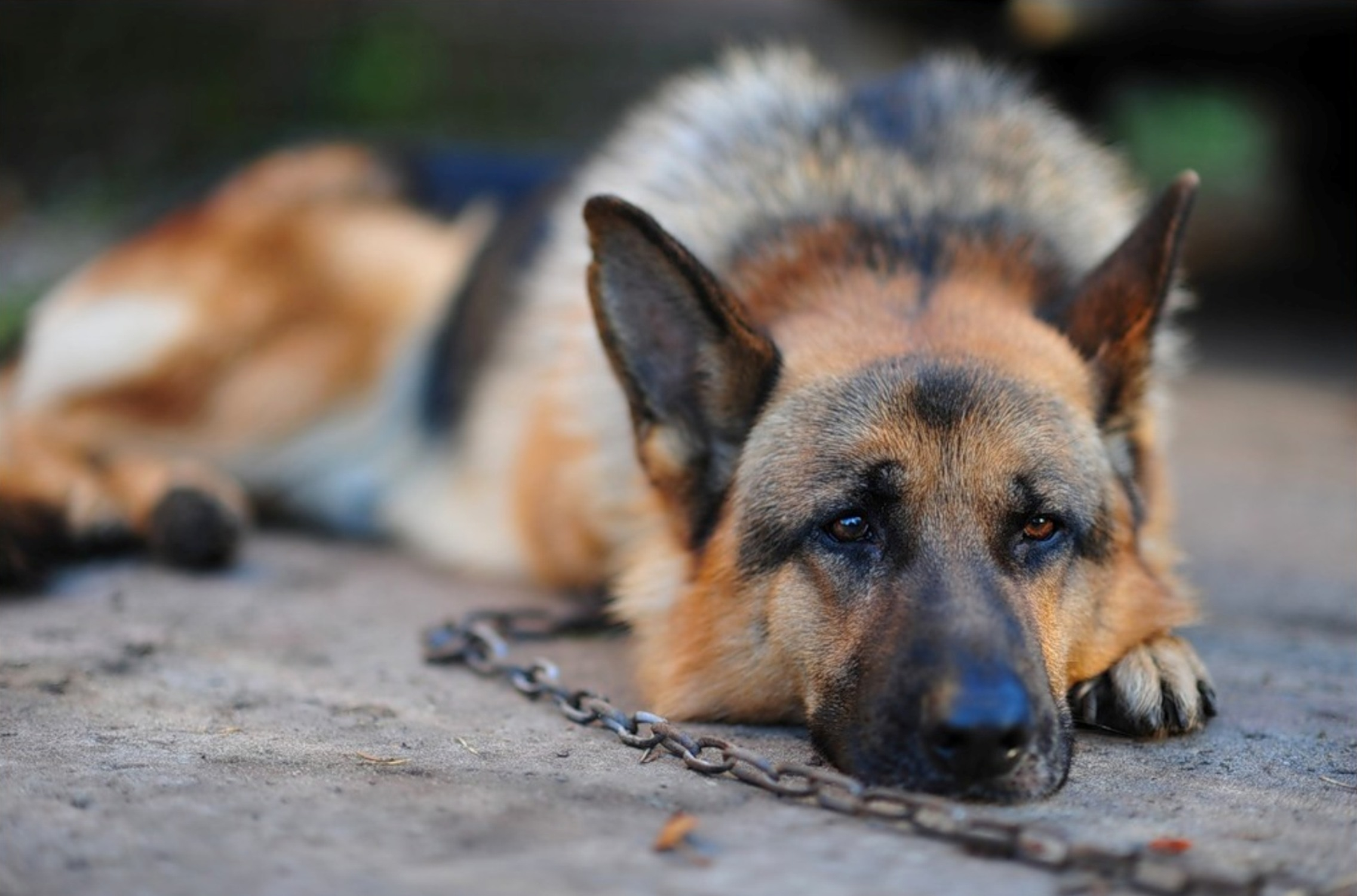 106875 download wallpaper Animals, Dog, German Shepherd, Chain, Relaxation, Rest screensavers and pictures for free